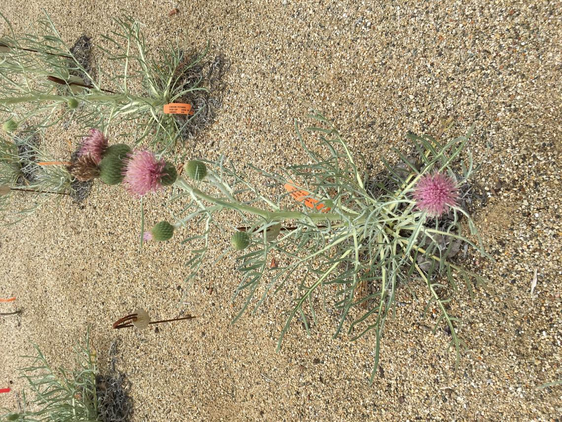 Pitcher's thistle, photo by Finote Gijsman